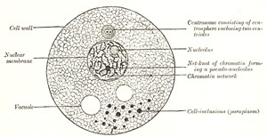 The gnostic church of lvx 1 diagram of a cell modified from wilson ccuart Images